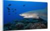 Lemon Shark in French Polynesia by Corbis