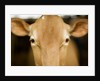 Head of Cow by Corbis