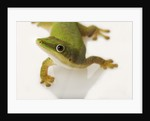 Day Gecko by Corbis