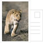 Lion Cub Running on Animal Trail by Corbis
