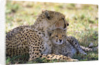 Cheetah mother and cub resting in shade together by Corbis