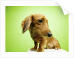Cute Dachshund by Corbis