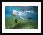 Bottlenosed Dolphin by Corbis