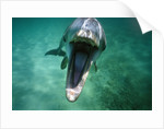 Bottlenosed Dolphin with Mouth Open by Corbis