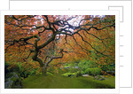 Japanese Maple in Fall by Corbis