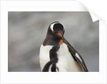 Gentoo Penguins by Corbis
