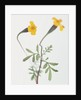 French Marigold by Corbis
