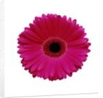 Hot Pink Gerbera Daisy by Corbis