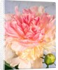 A pale pink and cream-colored peony blossom by Corbis