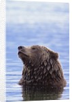 A Brown Bear Emerges from a Lake by Corbis