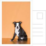 Boston Terrier Puppy by Corbis