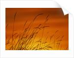 Grass Stalks Against Sunset Sky by Corbis