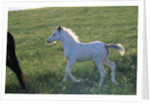 White Spanish Mustang Foal Running to His Mare by Corbis