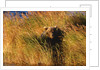 Female Brown (Grizzly) Bear in Tall Grass by Corbis
