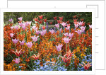 Colorful Flowers in St. James's Park by Corbis