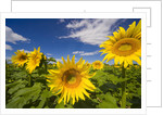 Field of Sunflowers by Corbis
