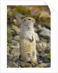 Black Tailed Prairie Dog by Corbis