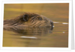 Beaver in Water by Corbis