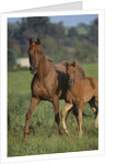 Thoroughbred Horse and Colt by Corbis
