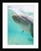 Bottlenose Dolphin by Corbis
