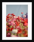 Shirley Poppies by Corbis