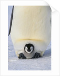 Emperor Penguin Protecting Offspring from the Cold by Corbis