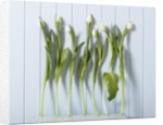 White Tulips in a Row by Corbis