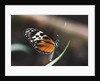 Hecales Longwing Butterfly Laying Egg by Corbis