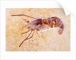 Crustacean Fossil from Solnhofen Limestone Formation by Corbis