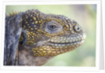 Close-up of Land Iguana by Corbis