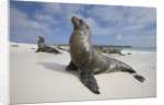 Galapagos Sea Lions by Corbis