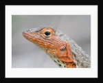 Close-up of Lava Lizard by Corbis