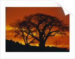 Baobab Trees at Sunset by Corbis