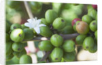 Flower and Coffee Cherries by Corbis