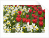 Oscar Tulips and Jack Snipe Narcissus by Corbis