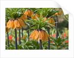 Orange Bloms Orange Perfection Fritillaria Imperialis by Corbis