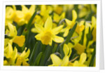 February Gold Narcissus by Corbis