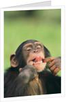 Chimpanzee by Corbis