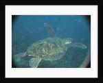 Green Turtle in Indian Ocean by Corbis