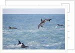 Dusky Dolphin Leaping by Corbis