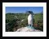 Blue Footed Boobie in Galapagos Islands National Park by Corbis