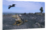 Land Iguana in Galapagos Islands National Park by Corbis