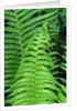 Fern Leaves by Corbis