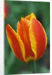 Orange and Yellow Tulip by Corbis