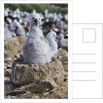 Albatross Chick on Nest by Corbis