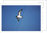 Cape Petrel in Flight by Corbis