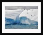 Albino Penguin (Center) on Iceberg by Corbis