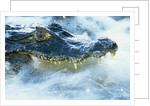 Caiman Waiting in Running Water by Corbis