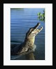 Caiman Emerging from River by Corbis