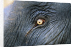 Close-Up View of Elephant's Eye by Corbis